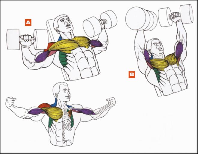 Внутренние грудные мышцы в домашних условиях 317